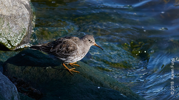 11 March: Purple Sandpiper on Roosevelt Island