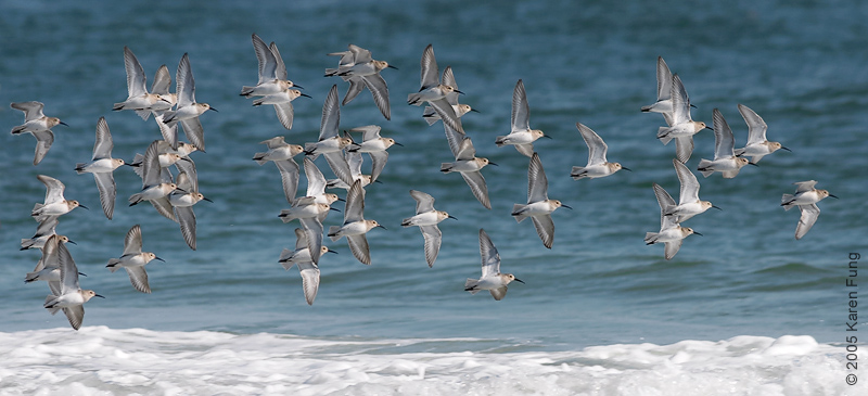Dunlin in flight at Barnegat Light, NJ