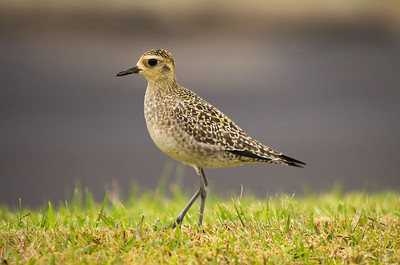 Pacific Golden-Plover (Pluvialis fulva) - adult non-breeding