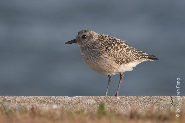 16 October: Black-bellied Plover at Jones Beach