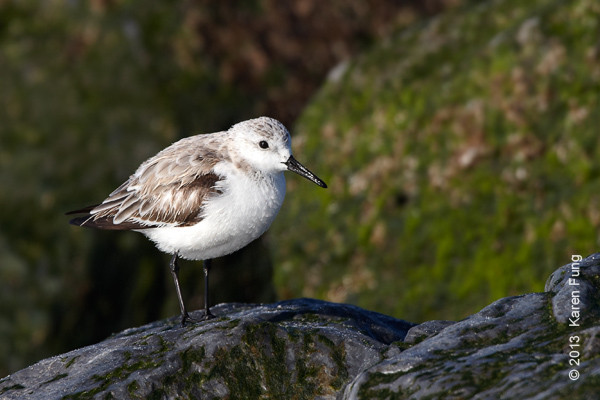 6 April: Sanderling at Point Lookout