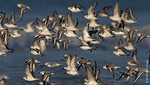 October 12th: Sanderlings in flight at Nickerson Beach