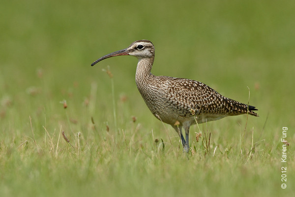 25 August: Whimbrel, Suffolk County