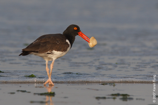 American Oystercatcher at Nickerson Beach