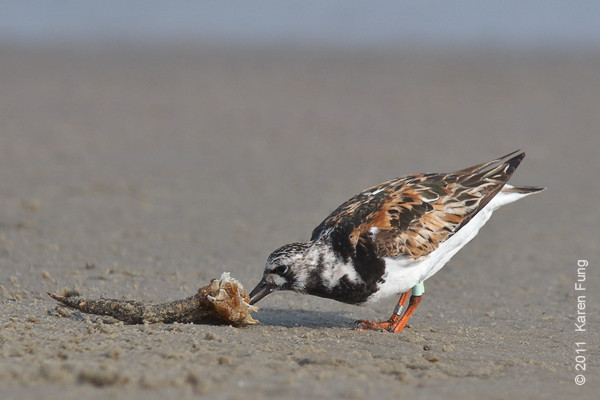 6 August: Ruddy Turnstone at Cupsogue County Park