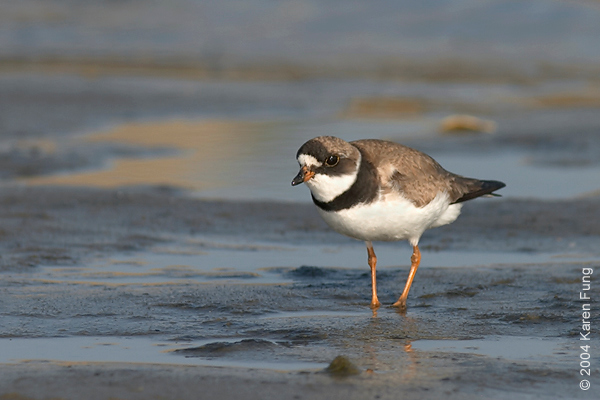 Semipalmated Plover at Jones Beach