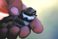 Killdeer chick. Utah Division of Wildlife Resources photo