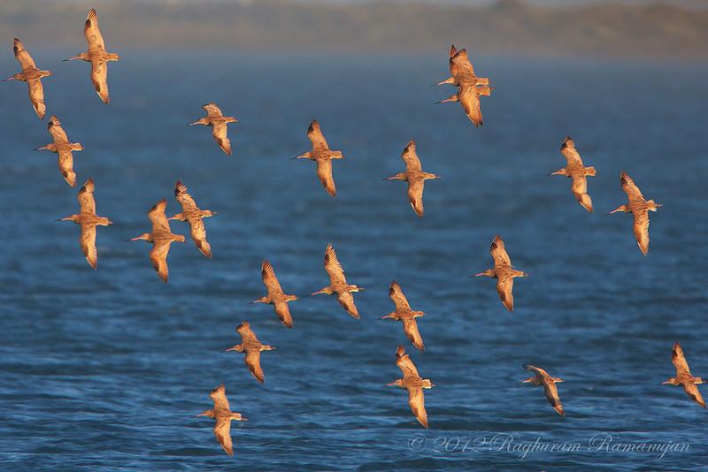 Marbled Godwits<br /> Bodega Bay, CA