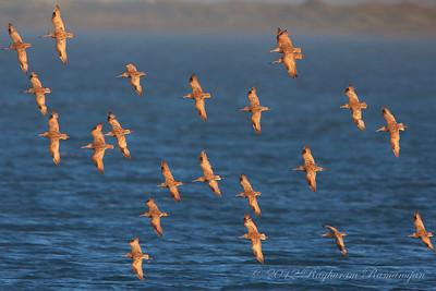 Marbled Godwits Bodega Bay, CA