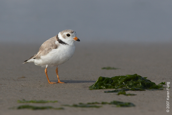 Piping Plover at Nickerson Beach