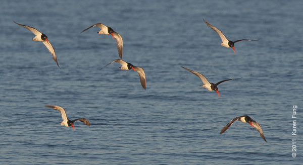 2 July: American Oystercatchers at Nickerson Beach