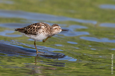 May 13th: Least Sandpiper preening in Central Park (Lower Lobe)