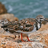 Two Ruddy Turnstone
