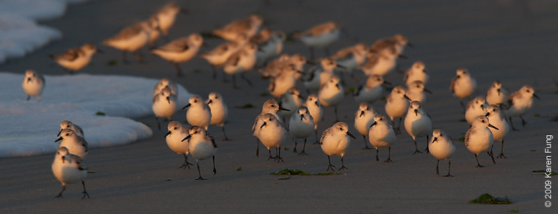 Oct 11th:  Sanderlings exploring Nickerson Beach at dawn