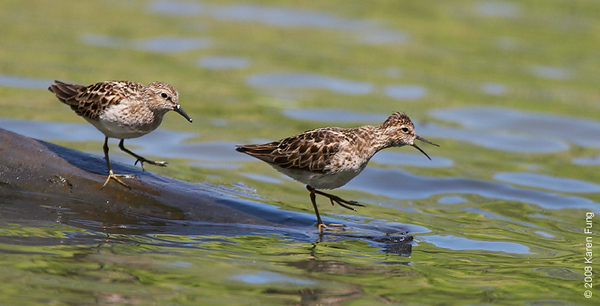 "May 13th: Least Sandpipers playing ""Simon Says"" in Central Park (Lower Lobe)"
