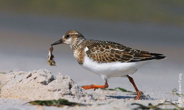 Juvenile Ruddy Turnstone at Jones Beach