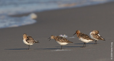 July 11th: Sanderlings at Nickerson Beach