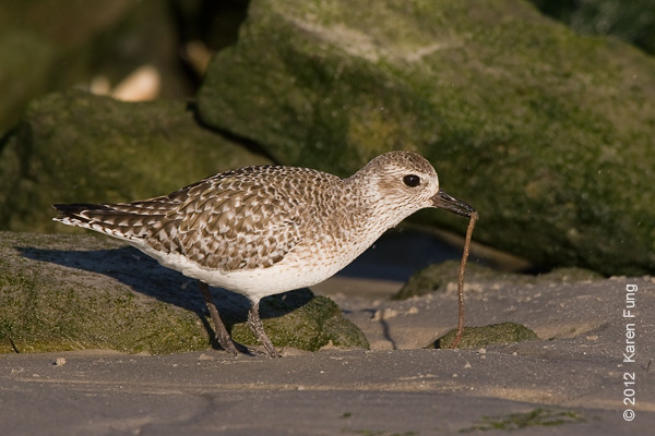 28 January: Black-bellied Plover at Barnegat Light