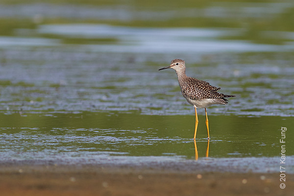 6 August: Lesser Yellowlegs