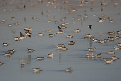 Wilson's phalaropes at Farmington Bay.  Photo by Phil Douglass, Utah Division of Wildlife Resources