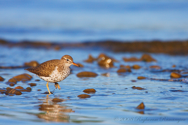 Spotted Sandpiper<br /> Lansing, NY