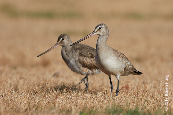 12 November: Hudsonian Godwits at Heckscher SP