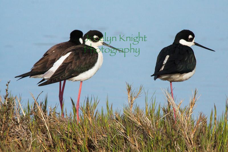 Black-necked Stint0005