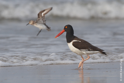 July 27th:  American Oystercatcher joined by a Sanderling at Nickerson Beach