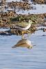 Common Sandpiper8909