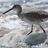 Willet<br /> Tringa semipalmata<br /> Nuevo Vallarta, Mexico<br /> March 05, 2013<br /> 2013 Bird Count #6