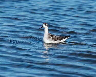 RED-NECKED PHALAROPE, AT YOLO BYPASS WILDLIFE AREA, YOLO CO, CA.