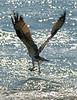 Osprey-Luna_9614