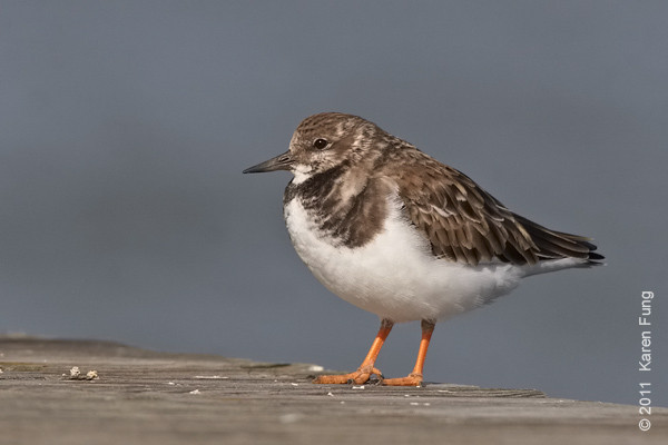 13 November: Ruddy Turnstone at Jones Beach