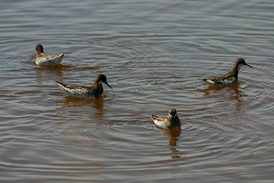 Red-necked phalaropes in breeding plumage on the water.  Photo by Scott Root, Utah Division of Wildlife Resources