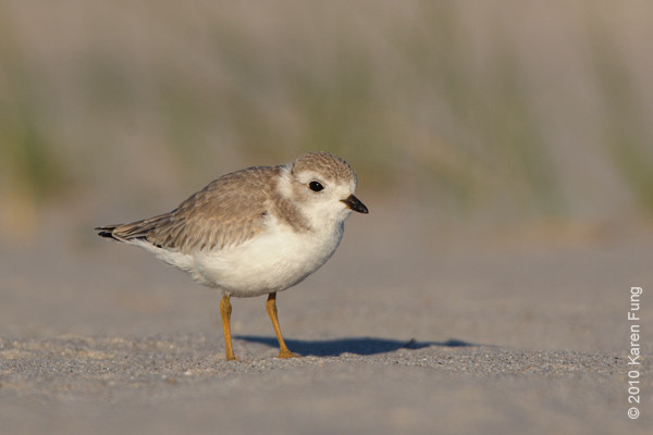 3 July: Piping Plover juvenile