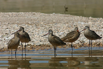 Long-billed dowitchers standing in calm water.  Photo by Scott Root, Utah Division of Wildlife Resources