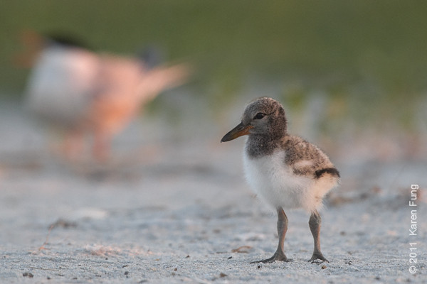 10 July: American Oystercatcher chick at Nickerson Beach at dawn (with a blurry Common Tern in the background)