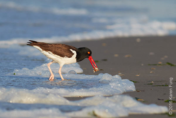 25 June: American Oystercatcher
