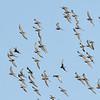Sharp-tailed Sandpipers in flight (Calidris acuminata)