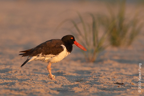 11 July: American Oystercatcher at dawn