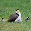 Masked Lapwing and chicks (Vanellus miles)