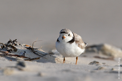 July 9th: Piping Plover at Nickerson Beach