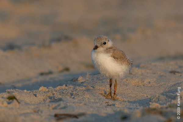 June 30th: Piping Plover chick at Nickerson Beach, shortly after dawn