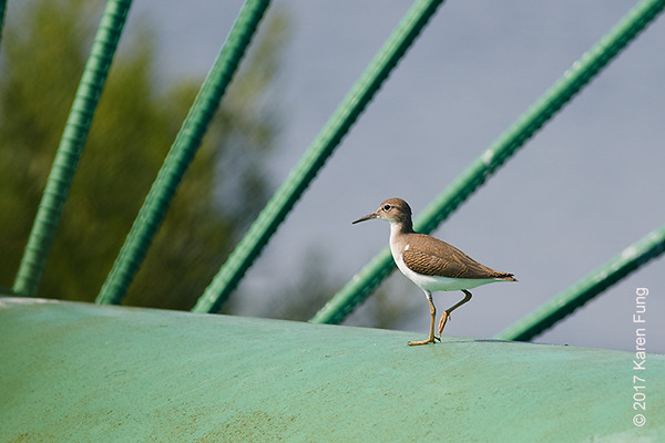 22 July: Spotted Sandpiper