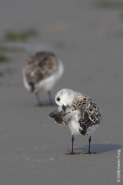 June 7th:  Sanderlings at Nickerson Beach