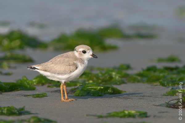 Juvenile Piping Plover at Nickerson Beach