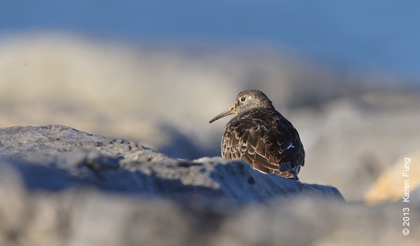 6 April: Purple Sandpiper at Point Lookout