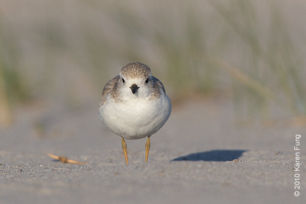 3 July: Piping Plover juvenile giving me the eye(s)