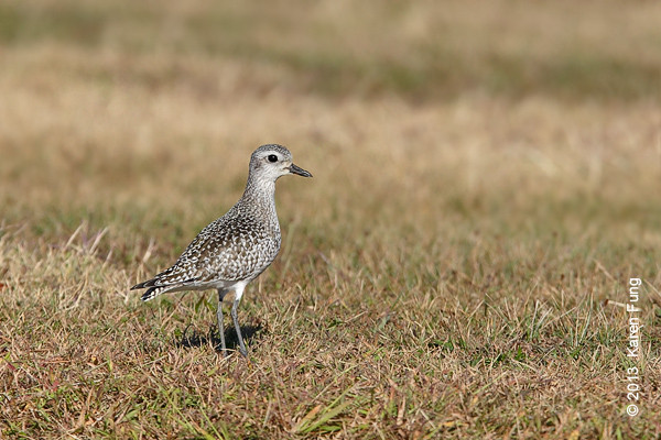 29 Sept: Black-bellied Plover at Jones Beach