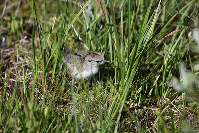 Spotted sandpiper chick. Photo by Phil Douglass, Utah Division of Wildlife Resources